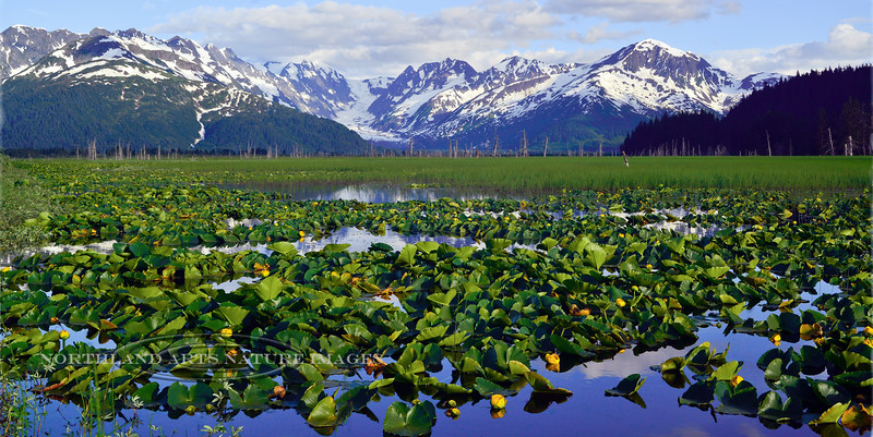 44.Nuphar polysepalum 2013.7.0#097.3. Yellow Pond Lily's in Placer Valley back dropped by Spencer Glacier. Turnagain Arm, Alaska.