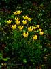 52.Saxifraga hirculus 2013.7.26#054. The Bog Saxifrage. The Summit of Hatcher Pass, Talkeetna Mountains Alaska.