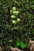 67.Pyrola chlorantha 2011.7.27#1000. The Green Pyrola. Kincaid Park Anchorage Alaska.