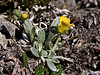49.Lesquerella arctica, Arctic Bladderpod. Anvil Mountain, Nome, Alaska. #621.16. 3x4 ratio format. Scanned from old film stock.
