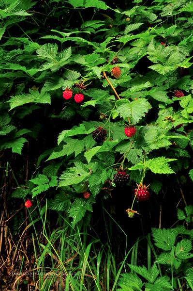 53.Rubus spectabilis 2010.7.27#134. Salmonberry. Barry Arm, Prince William Sound Alaska.