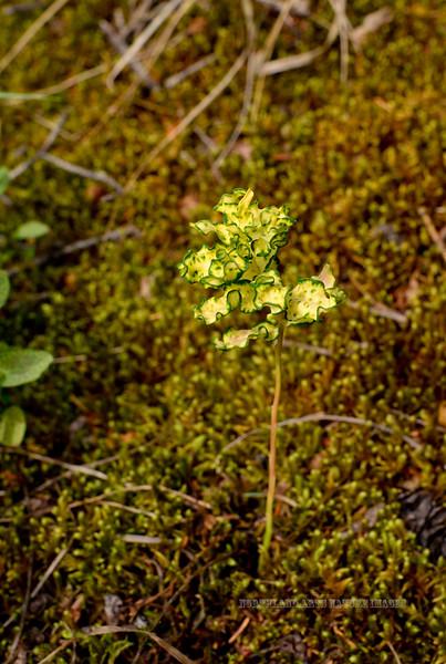 38.Geocaulon lividum 2015.7.4#061. Timberberry or Northern Comandra carrying the Comandra Blister Rust fungus. Twelve mile, Denali Park Alaska.