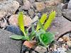 33.Salix Species 2011.5.29#032. Teklanika River, Denali Park Alaska.