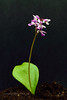 32.Amerorchis rotundifolia 2014.7.6#257. Round leaf Fly Specked orchid. Near Glennallen, Alaska.