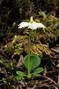67.Monesis uniflora 2010.7.3#084. The Shy Maiden .With a flower in a very unusual upright attitude. Near Glennallen, Alaska.