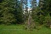 17.Tsuga mertensiana 2013.7.9#016. Mountain Hemlock. Turnagain Pass, Alaska.