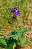 46.Delphinium glaucum 2015.7.4#113. The tall Larkspur. Savage Canyon, Denali Park Alaska.