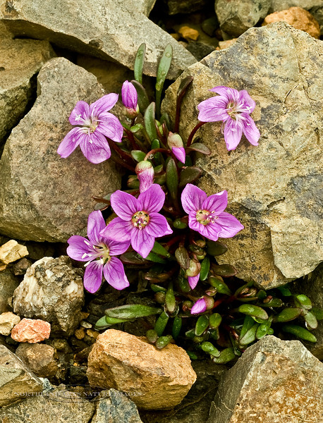 42.Claytonia scammaniana 2008.6.29#198. Scammon's Spring Beauty is a darker rosey pink species than the more common Alaska Spring Beauty. They occur in similar wet locations from lower slopes to high alpine ridges. These were shot on Thoro Ridge in Denali Park, Alaska.