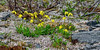 Arnica Lessingii. Lessing's Arnica is a common alpine plant in much of Alaska. These featured are in the Chugach mountains. #716.004. 1x2 ratio format.
