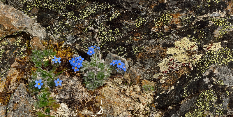 77.Eritrichium aretioides 2014.6.29#363. The Mountain forget-me-not. Mount Healy's northeast side, Alaska Range, Alaska.