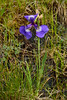 31.Iris setosa 2014.7.5#050. Turnagain Pass, Kenai Peninsula Alaska.