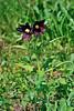 30.Fritillaria camschatcensis 2010.7.17#097. The Chocolate Lilly. Turnagain Pass, Kenai Peninsula Alaska.