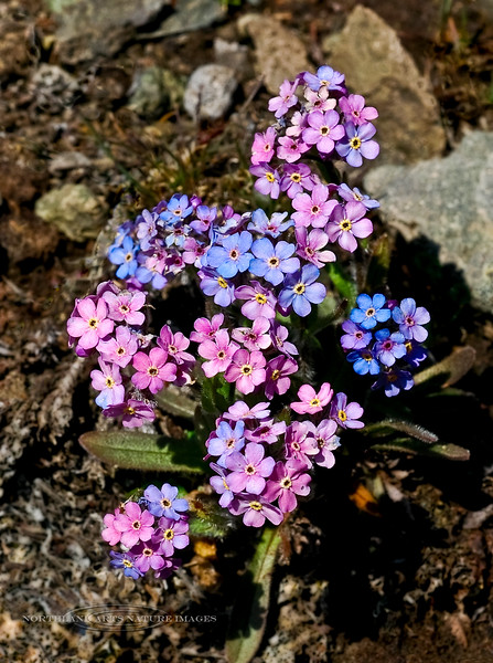 77.Myosotis alpestris 2006.6.20#008. An uncommon pink hued form of the normally sky blue flowered Alpine Forget-Me-Nots. Sheep Mountain, Glenn highway, Alaska.