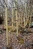 33.Populus tremuloides, the Quaking Aspen. Turnagain Arm, Alaska. #331.025. 2x3 ratio format.