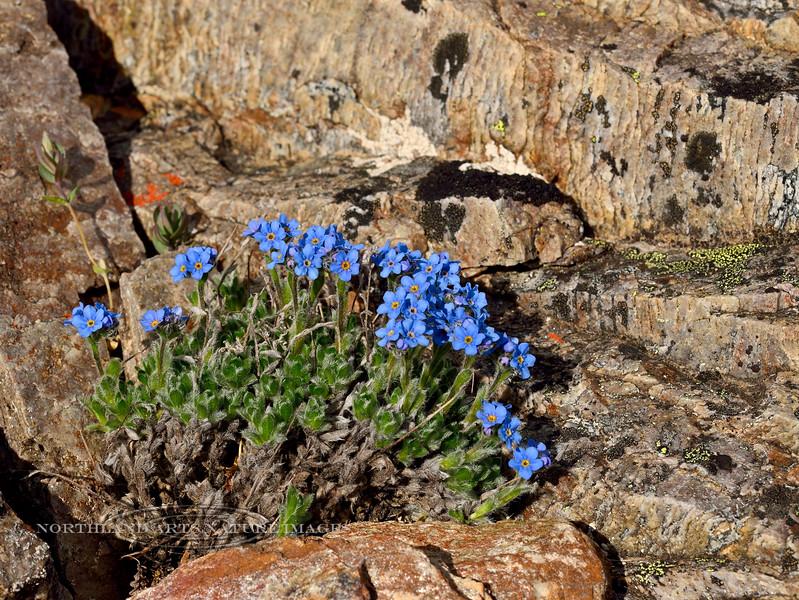 77.Eritrichium aretioides 2014.6.29#310. The mountain Forget-Me-Not. Mount Healy's northeast side, Alaska Range, Alaska.