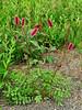 53.Sanguisorba officinalis 2010.7.13#048. The Red Burnett. Near Donnelly Dome,  Richardson Highway, Alaska.
