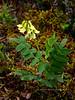 54.Astragalus umbellatus 2014.6.24#246. The Hairy Arctic Milk Vetch. Savage Canyon above Savage Rock, Denali Park Alaska.