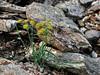 65.Bupleurum triradiatum arcticum 2010.7.12#122. Thoroughwax. Savage Canyon west side, Denali Park, Alaska.