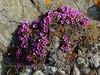 52.Saxifraga oppositifolia 2006.6.29#1.0305. The Purple Mountain Saxifrage. Photo taken inside the notch of the Gunsight of Sheep Mountain, Talkeetna's Alaska. See the next image.
