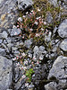 52.Saxifraga ferruginia, the Coastal Saxifrage. Thompson Pass, Alaska. #722.100. 3x4 ratio format.