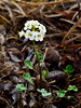 49.Cardamine purpurea 2014.6.24#148. the Purple Cress in a white form. Savage Canyon west side, Denali Park Alaska.