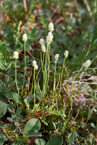 30.Tofieldia pusilla 2000.7.1#58. Bison Gulch, N.E corner of Mount Healy Alaska.