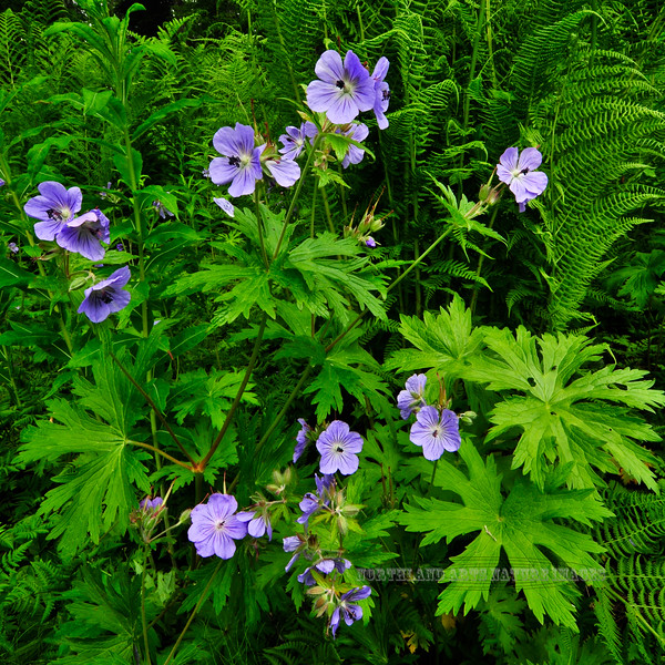 55.Geranium erianthum 2010.6.18#050. Wild Geranium or Cranesbill. Parks Highway near Trapper Creek, Alaska.