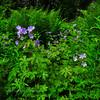 55.Geranium erianthum 2010.6.18#044. Parks Hiway near Trapper Creek, Alaska.