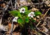 60.Viola renifolia 2008.5.10#022. The Wood Violet. Near beluga Point Turnagain Arm, Alaska.