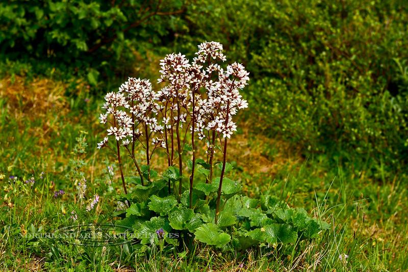 52.Boykinia richardsonii 2013.6.29#156. The Bear Flower. Mount Healy north east side, Alaska.
