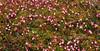 69.Oxycoccus microcarpus 2010.6.18#007. The Bog Cranberry. Chulitna, Alaska.