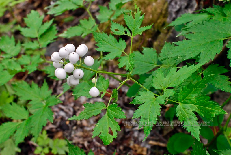 46.Actaea rubra 2014.8.6#014. The Red Baneberry, but with white berries (forma neglecta). Rainbow trail ,Turnagain Arm South Central Alaska.
