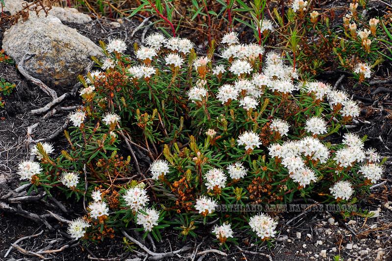"69.Ledum palustris, decumbens 2009.6.9#033. ,The Narrow-Leaf Labrador Tea. Growing amongst the granite Tors near ""Finger Rock"". Dalton Hwy, Alaska."
