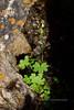 52.Saxifraga cernua 2014.6.28#125. The Bulblet Saxifrage. West side Savage Canyon, Denali Park Alaska.