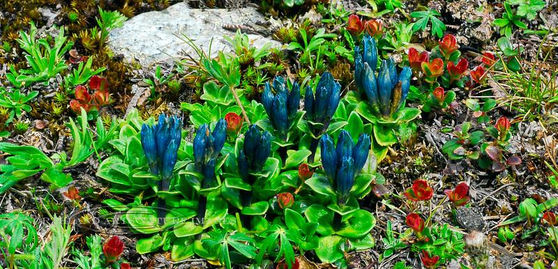 73.Gentiana glauca 2008.6.30#028. Glaucous Gentian in typical tundra habitat. Primrose Ridge, Denali Park Alaska.