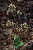 52.Saxifraga reflexa 2014.6.5#022. Reflexed Saxifrage. Morino Trail, Denali Park Alaska.