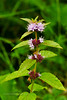 78.Mentha arvensis 2010.8.3#022. Field Mint. Westchester Lagoon, Anchorage, Alaska.
