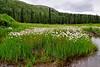 26.Eriophorum species 2010.7.13#035.2. Upper Willow Creek, Alaska.