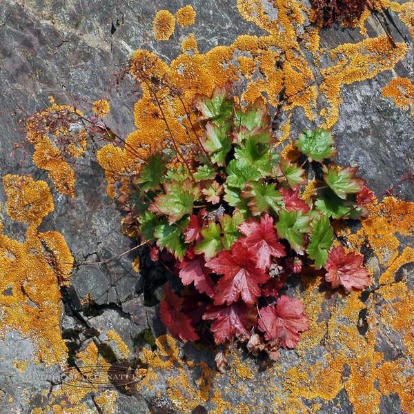 52.Heuchera glabra 2007.9.22#216. Know as Alpine Heuchera or Smooth Alumroot. Turnagain Arm just south of Rainbow Creek, South Central Alaska.
