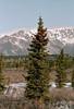 17.Picea glauca 2007.9.18#19. White Spruce. Savage country, Denali Park Alaska.