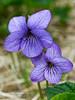 60.Viola langsdorfii 2006.7.11#0059. Commonly called Alaska Violet. Turnagain Arm Kenai Peninsula, Alaska.