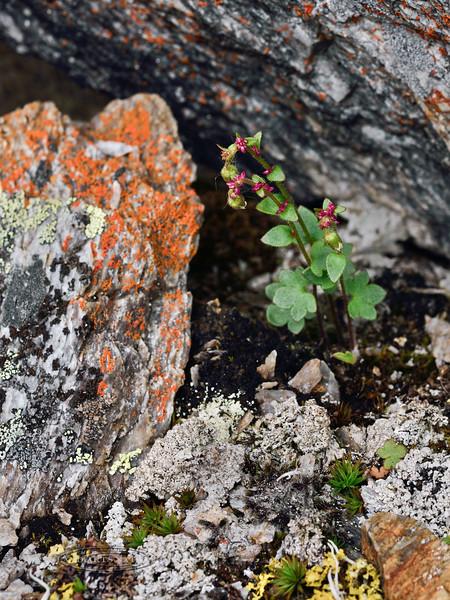 52.Saxifraga cernua 2014.6.24#185. The Bulblet Saxifrage. West side of Savage Canyon, Denali Park Alaska.