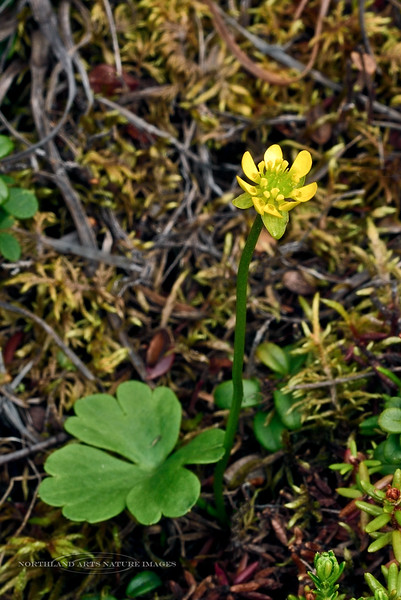 46.Ranunculus lapponicus 2014.6.28#015. The Lapland Buttercup. Bog north of Cantwell, Alaska Range, Alaska.