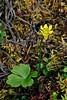 46.Ranunculus lapponicus, the Lapland Buttercup. Alaska Range, Alaska. #628.015. 2x3 ratio format.