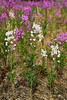 62.Epilobium angustifolium 2013.7.15#007. A less common white form of Fireweed. Glenn highway Nelchina Basin, Alaska.