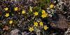 52.Saxifraga serpyllfolia 2011.6.30#014. The Thyme-Leaf Saxifrage. Summit ridge on Sheep Mountain, Talkeetna's  Alaska.