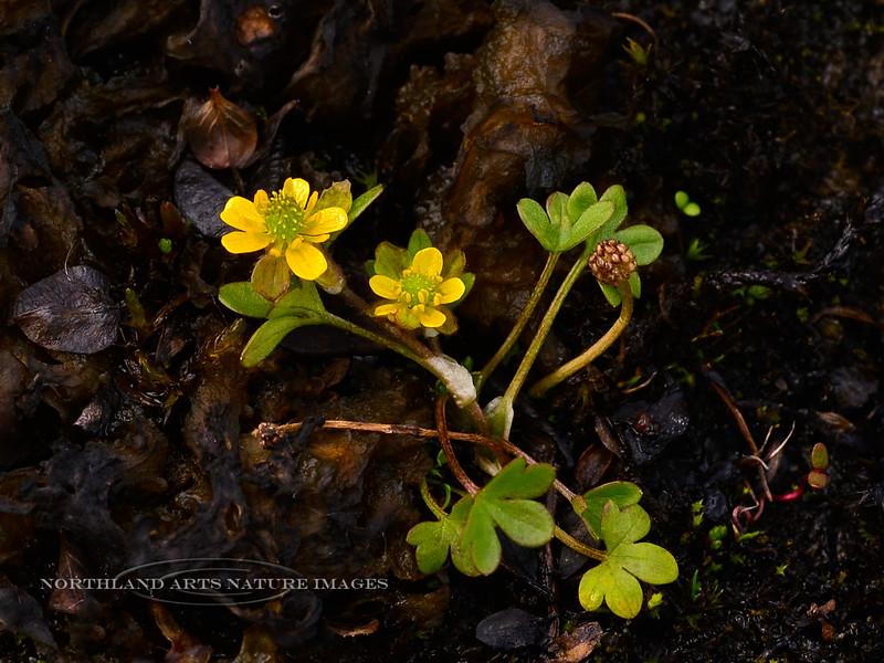 46.Ranunculus pygmaeus 2013.7.16#044. The Dwarf Buttercup. Thompson Pass, Richardson Highway Alaska.