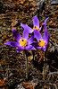 46.Pulsitilla patens. Know by most as the Pasque Flower or Crocus. It occurs on dry south facing slopes and open areas in Alaska. It is one of the first flowers to bloom in the north country. This plant was photographed near Chitna,Wrangel Mtn's,AK. #517.11.
