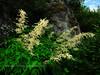 53.Aruncus Sylvester 2010.7.12#016. The Goatsbeard is a distinctive plant in bloom. Hatcher Pass road alng the Little Susitna,Talkeetna Mountains, Alaska.