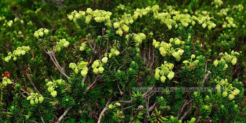 69.Phyllodoce aleutica 2010.7.30#041. The Aleutian Mountain-Heather. Turnagain Arm, Kenai Peninsula, Alaska.